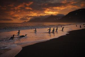 King penguins, Aptenodytes patagonica, coming ashore at sunrise. by Ralph Lee Hopkins