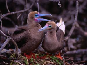 Nesting Pair of Red-Footed Boobies (Sula Sula) in Mangroves on Lighthouse Reef, Belize by Ralph Lee Hopkins