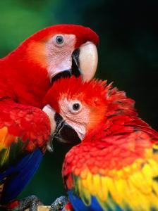 Pair of Preening Scarlett Macaw (Ara Macao), Puntarenas, Costa Rica by Ralph Lee Hopkins