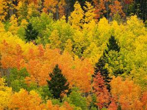 Quaking Aspen and Ponderosa Pine Trees Display Fall Colors by Ralph Lee Hopkins