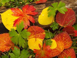 Quaking Aspen and Wild Geranium Leaves on the Forest Floor in Autumn by Ralph Lee Hopkins