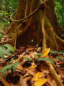 Root Buttress in Jungle on the Osa Peninsula, Corcovado National Park, Puntarenas, Costa Rica by Ralph Lee Hopkins