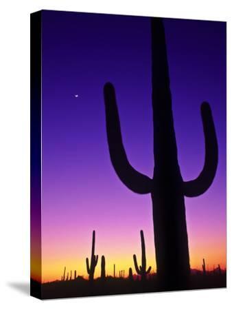 Sonoran Desert at Twilight with Saguaro Cacti and Crescent Moon, Saguaro National Monument, Arizona