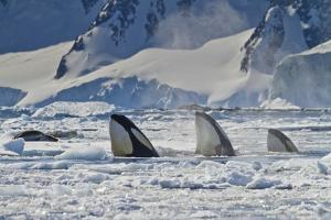 Three Killer Whales Hunt a Leopard Seal on Pack Ice by Ralph Lee Hopkins