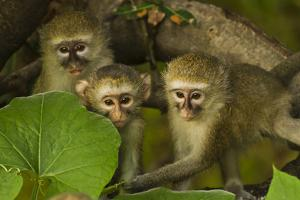 Three Vervet Monkeys in a Leafy Tree by Ralph Lee Hopkins