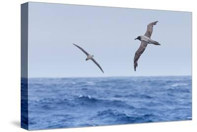 Two Light-Mantled Albatross in Flight in the South Shetland Islands, Antarctica