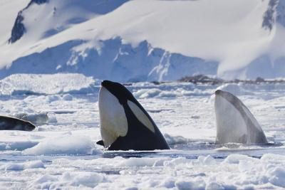 Two Orca Whales Surface in Pack Ice Hunting a Distant Leopard Seal