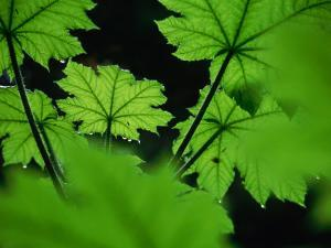 Water Drops on Leaves, Tongass National Forest, Baronof Island, Alaska, USA by Ralph Lee Hopkins