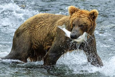 Yearling Brown Bear, Ursus Arctos, Catches a Sockeye Salmon Below Brooks Falls