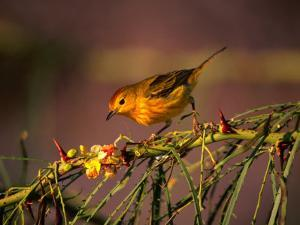 Yellow Warbler on a Thorny Branch, Galapagos, Ecuador by Ralph Lee Hopkins