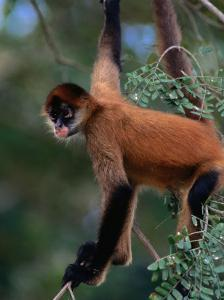 Young Spider Monkey Hanging from Tree in the Curu Biological Reserve, San Jose, Costa Rica by Ralph Lee Hopkins