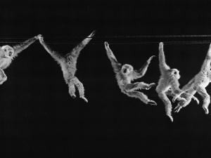 Multiple Exposures of Monkey Swinging by Ralph Morse