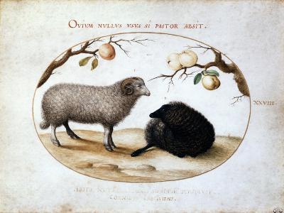 Ram, Black Sheep and Two Apple Branches, 16th Century-Joris Hoefnagel-Giclee Print