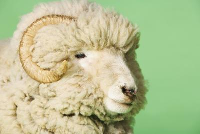 Ram on Green Background, Close-Up of Head--Photo