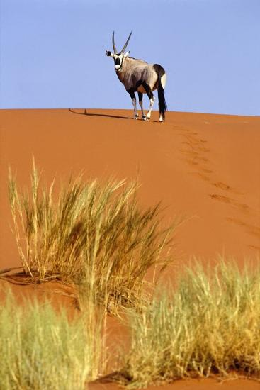 Ram on Sand Dune in Sossusvlei-Design Pics Inc-Photographic Print