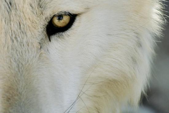 Ramah, New Mexico, United States. Wild Spirit Wolf Sanctuary-Julien McRoberts-Photographic Print