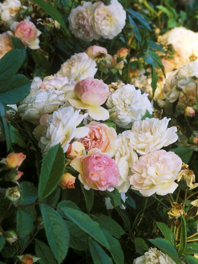 Rambling Shrub Rose-Philippe Bonduel-Photographic Print