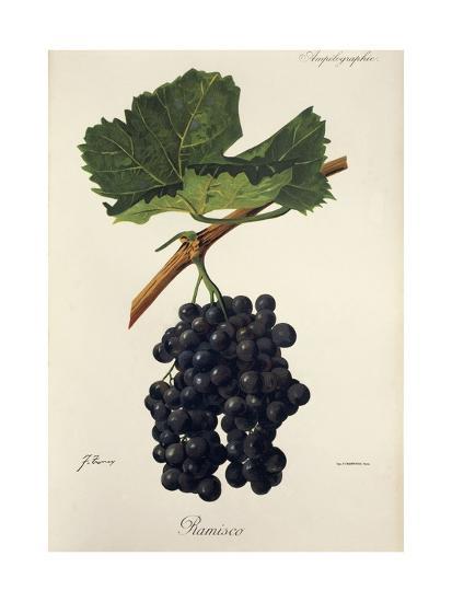 Ramisco Grape-J. Troncy-Giclee Print