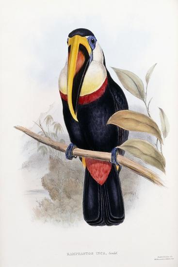 Ramphastos Inca--Giclee Print