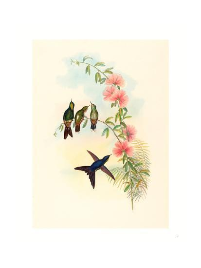 Ramphomicron Microrhyncha (Small Billed Thornbill), Colored Lithograph- Richter & Gould-Giclee Print