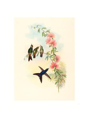https://imgc.artprintimages.com/img/print/ramphomicron-microrhyncha-small-billed-thornbill-colored-lithograph_u-l-pus3tf0.jpg?p=0