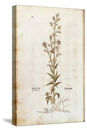 Rampion Bellflower - Campanula Rapunculus (Rapum Sylvestre) by Leonhart Fuchs from De Historia Stir
