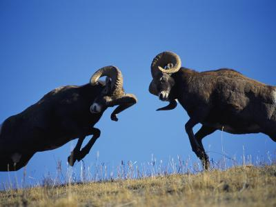 Rams Display Traditional Mating Season Behavior by Butting Heads-Jeff Foott-Photographic Print
