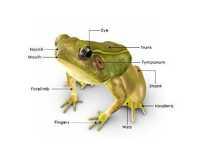 Rana Frog-7activestudio-Art Print
