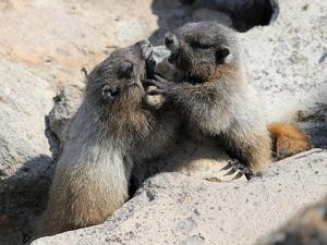 Juvenile Hoary Marmots Wrestling by randimal