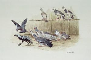 The Jackdaw and the Doves by Randolph Caldecott