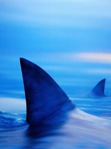 Shark Fins Cutting Surface of Water by Randy Faris