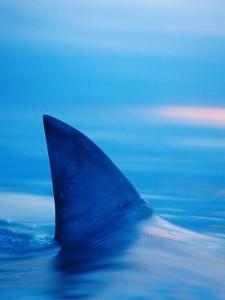 Shark's Dorsal Fin Cutting Surface of Water by Randy Faris