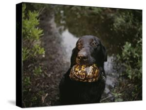 A Black Lab Named Cooper with a Turtle in His Mouth by Randy Olson