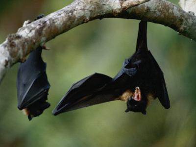 Flying Fox Bats Hang from a Limb in an American Samoa Rainforest