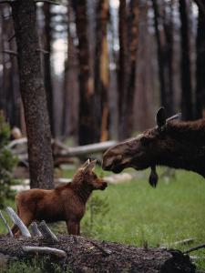 Moose with Young by Randy Olson