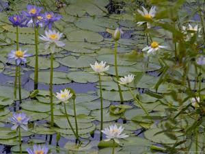 Water Lilies in Bloom by Randy Olson