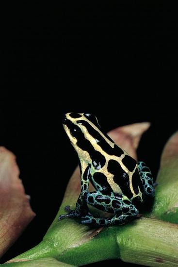 Ranitomeya Ventrimaculata (Reticulated Poison Frog)-Paul Starosta-Photographic Print