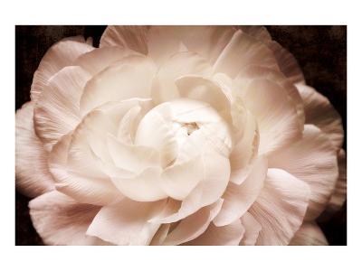 Ranunculus 7-Christine Zalewski-Art Print