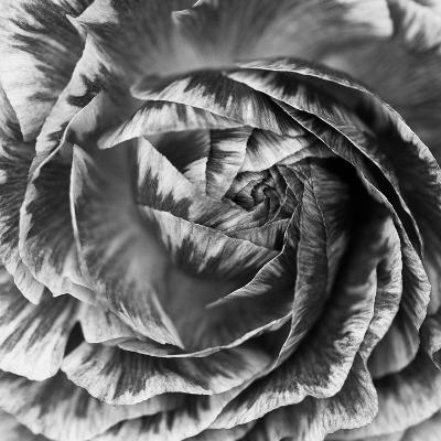 Ranunculus Abstract IV BW-Laura Marshall-Photo