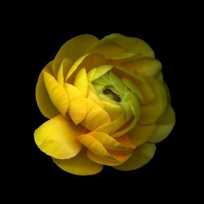 Ranunculus Close-Up-Magda Indigo-Photographic Print