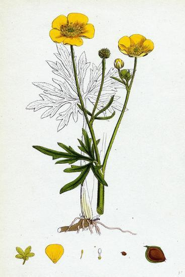Ranunculus Eu-Acris Upright Meadow Crowfoot--Giclee Print