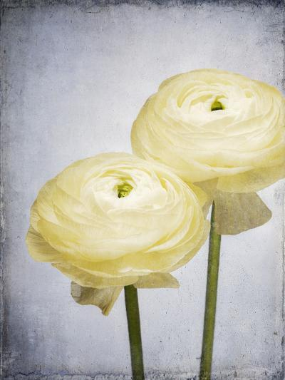Ranunculus, Flower, Blossoms, White, Still Life-Axel Killian-Photographic Print