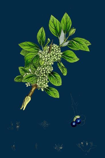 Ranunculus Heterophyllus; Various Leaved Water-Crowfoot--Giclee Print