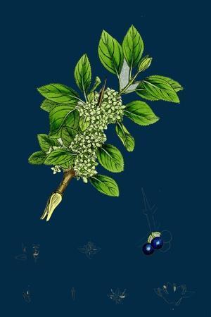 https://imgc.artprintimages.com/img/print/ranunculus-heterophyllus-various-leaved-water-crowfoot_u-l-pvf0kt0.jpg?p=0