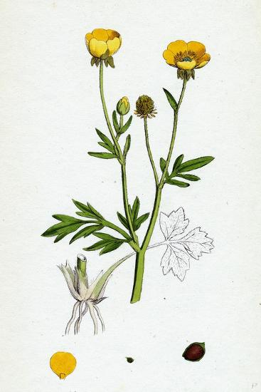 Ranunculus Hirsutus Hairy Crowfoot--Giclee Print