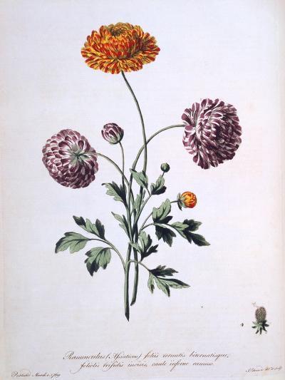 Ranunculus, Illustration from 'The British Herbalist', 1769-John Edwards-Giclee Print