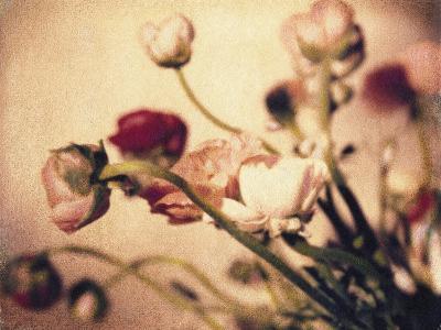 Ranunculus No.2-Jennifer Kennard-Photographic Print