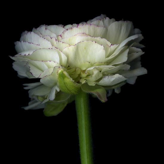 Ranunculus White-Magda Indigo-Photographic Print