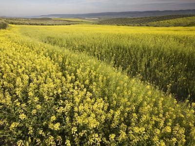 Rape Crop Flowers in Springtime in Northwestern Jaen Province-Diego Lezama-Photographic Print