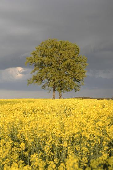 Rape Field, Tree, Storm Clouds-Nikky Maier-Photographic Print